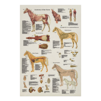 Horse Equine Anatomy Poster Large Format