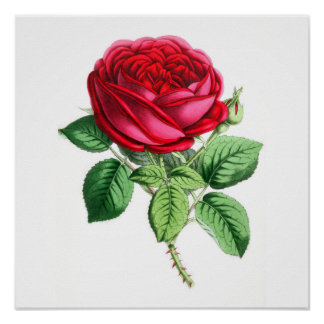 Hybrid Perpetual Rose - Napoleon III Poster