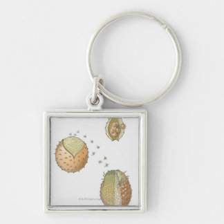 Illustration of the life cycle of a Selaginella Silver-Colored Square Key Ring