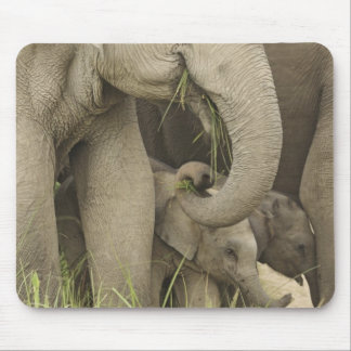 Indian / Asian Elephant and young one,Corbett 3 Mouse Pad