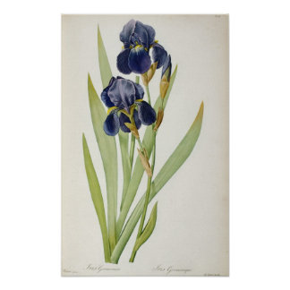 Iris Germanica, from `Les Liliacees', 1805 Poster