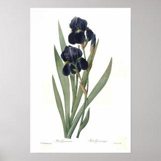 Iris germanica poster