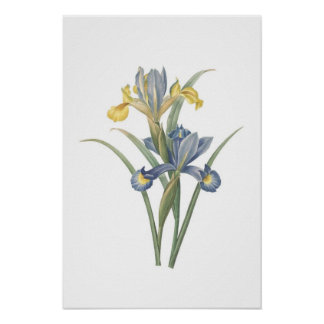 Iris Xiphium Poster
