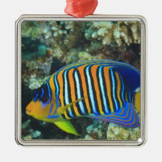 Juvenile Regal Angelfish Pygoplites Silver-Colored Square Decoration