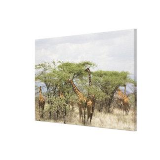 Kenya, Samburu National Reserve. Rothschild Stretched Canvas Prints
