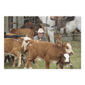 Kyle waiting with calf during round-up, photo print