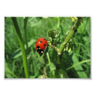 Ladybug and Aphids Photo