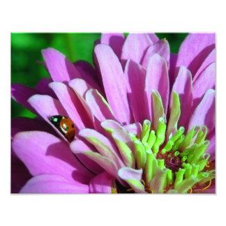 Ladybug on Purple Zinnia Flower Photograph