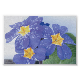 Lilac Winter Flowering Pansy Poster