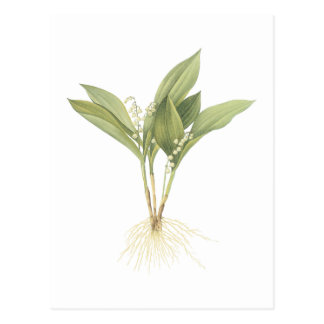 Lily-of-the-valley(Convallaria majalis) by Redouté Postcard