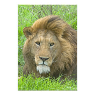Lion Male Portrait, East Africa, Tanzania, Photo