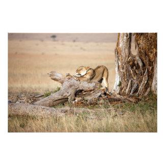 Lioness stretching photo art
