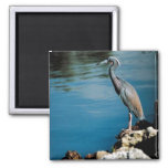 Little blue heron square magnet