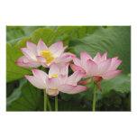 Lotus flower, Nelumbo nucifera, China 2 Photo