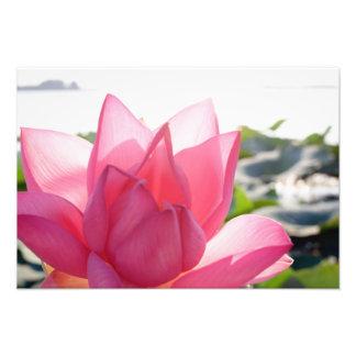Lotus flower [Nelumbo speciosum] in full Photographic Print