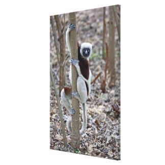 Madagascar, Ankarafantsika Reserve; Ampijoroa; Gallery Wrap Canvas