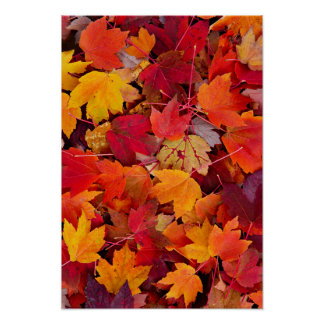 Magnificent Maple Leaves Poster