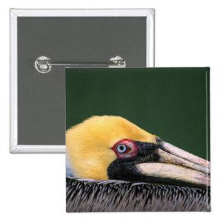 Male Brown Pelican (Pelecanus occidentalis) in 15 Cm Square Badge