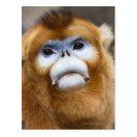 Male Golden Monkey Pygathrix roxellana, portrait Postcard