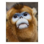 Male Golden Monkey Pygathrix roxellana, portrait Poster