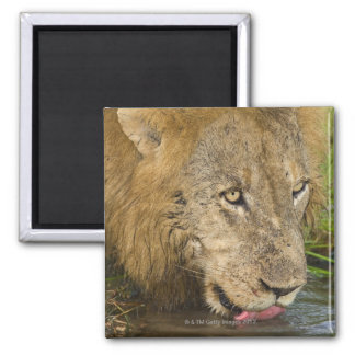 Male lion drinking, Greater Kruger National Square Magnet
