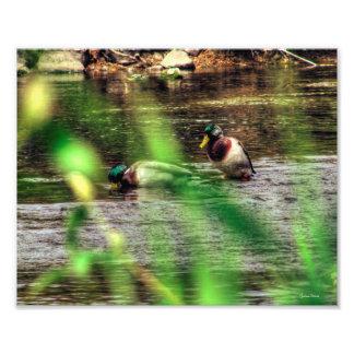 Male Mallard Ducks Photo Art