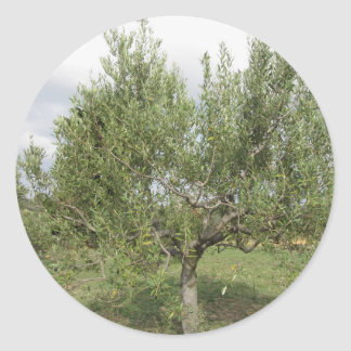 Mediterranean olive tree in Tuscany, Italy Round Sticker