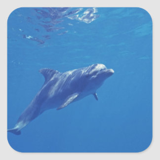 Mexico, Cozumel. Bottlenosed Dolphin Square Sticker