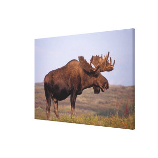 moose, Alces alces, bull with large antlers in Stretched Canvas Prints