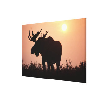 moose, Alces alces, bull with large antlers, Stretched Canvas Print