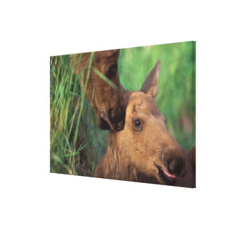 moose, Alces alces, cow with newborn calf, Gallery Wrapped Canvas