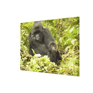 Mountain Gorilla, Gorilla beringei (formerly G. Gallery Wrap Canvas