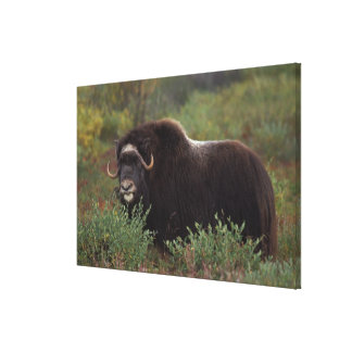 muskox, Ovibos moschatus, cow on the central Stretched Canvas Print