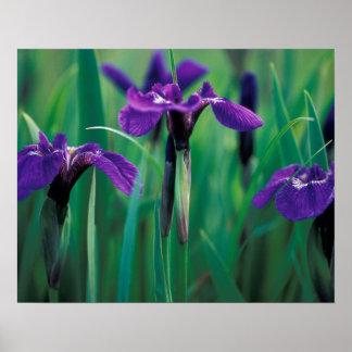 NA, USA, Alaska, Knight Island, Wild iris Poster
