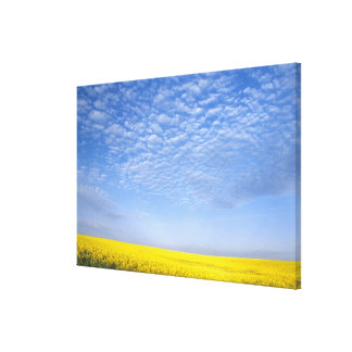 Na, USA, ID, Grangeville, Field of Canola Crop Gallery Wrapped Canvas
