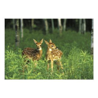 North America, USA, Minnesota. White-tailed 2 Photographic Print
