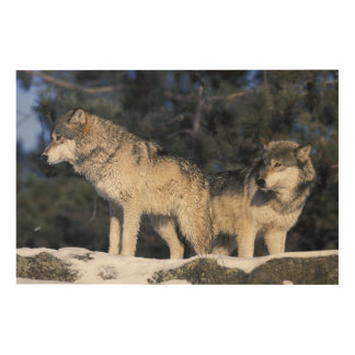 North America, USA, Minnesota. Wolf Canis 2 Wood Prints