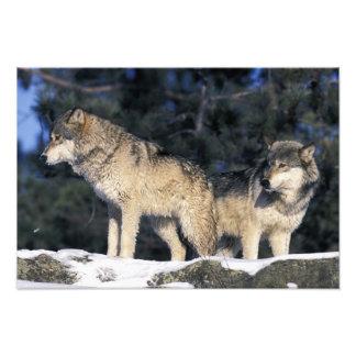 North America, USA, Minnesota. Wolf Canis 3 Photo