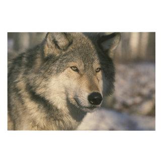 North America, USA, Minnesota. Wolf Canis 3 Wood Prints