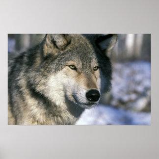 North America, USA, Minnesota. Wolf Canis Poster