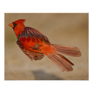 Northern Cardinal adult male in flight Poster