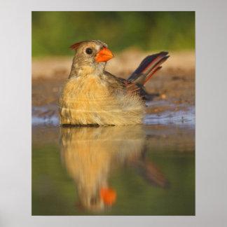 Northern Cardinal (Cardinalis cardinalis) female 3 Poster