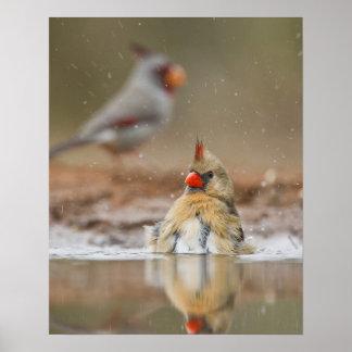 Northern Cardinal (Cardinalis cardinalis) female Poster
