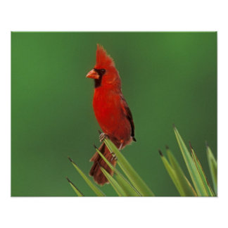Northern Cardinal, Cardinalis cardinalis,male on Poster