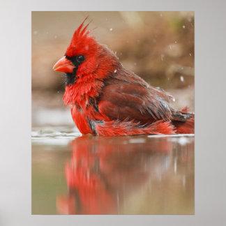 Northern Cardinal (Cardinalis cardinalis) male Poster
