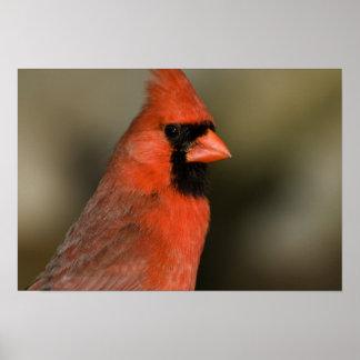Northern Cardinal close up portrait Poster