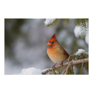 Northern Cardinal female in spruce tree in winter Poster