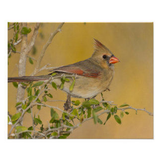 Northern Cardinal female perched on branch Poster