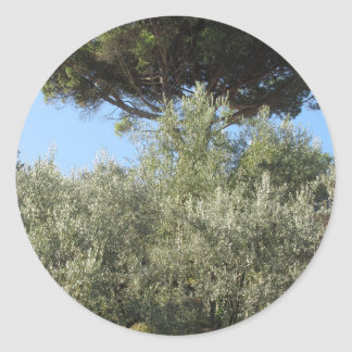 Olive trees with pine tree as background round sticker