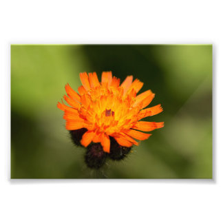 Orange Hawkweed Photograph